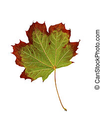 Maple Leaf changing color