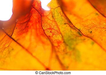Maple leaf close-up