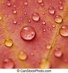 Maple leaf close up.