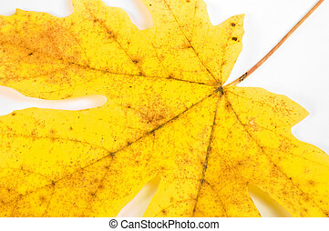 Maple leaf closeup