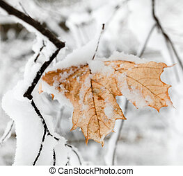 Maple leaf covered with snow