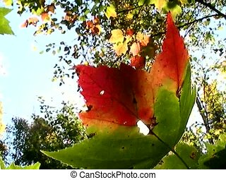 Maple leaf detail, Canada in North America. - Maple leaf...
