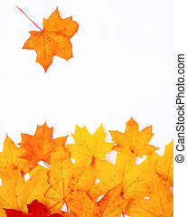 maple leaf falls into a pile of leaves on a white background copy space