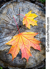 Red, orange and yellow maple leaf on a cut trunk, in the forest in autumn