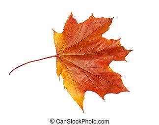 Maple leaf in Fall