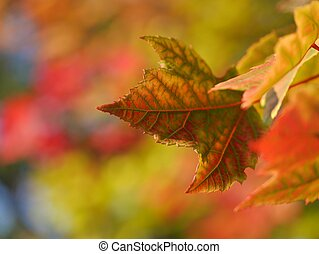 Maple Leaf in nature