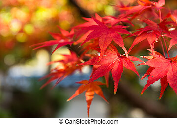 Maple leaf in the fall