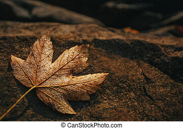 Maple leaf is covered with drops of dew on a stone. Autumn background.