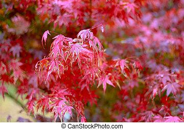 maple leaf, Japanese red maple leaf