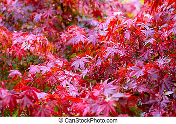 maple leaf, Japanese red maple leaf selective focus in the garden abstract background.
