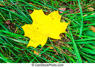 Maple Leaf Laying in the Grass