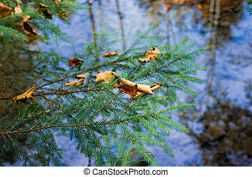 Maple leaf lies on a fir tree against the background of the river.