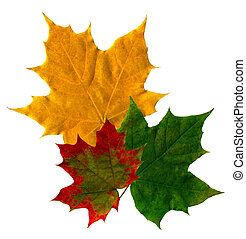 Maple leaves on the isolated white background