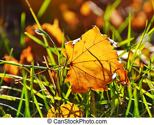 maple leaf on a background of grass