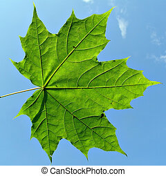 maple leaf on background blue sky