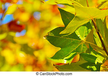 maple leaf on blurred background