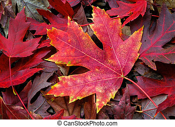 An intensely colorful autumn maple leaf lies on the fall forest floor.