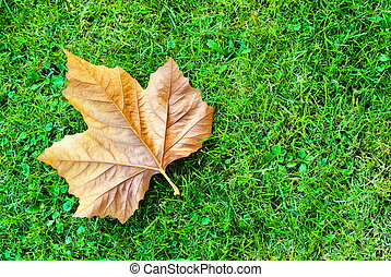 Maple leaf on green grass