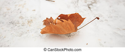 Maple leaf on snow background