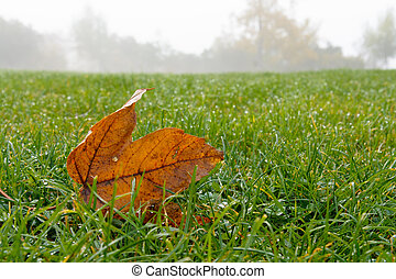 Maple leaf on the grass