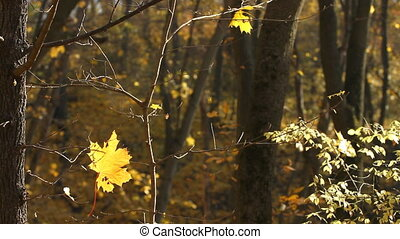 Maple leaf on the tree in autumn