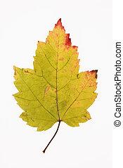 Maple leaf on white.