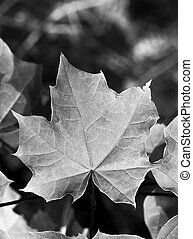 Maple Leaf