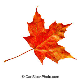 Maple leaf - Single maple leaf isolated with clipping path...