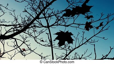 maple leaf sways on a bare tree