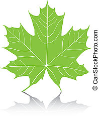 Maple Leaf Vector Illustration.