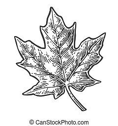 Maple leaf. Vector vintage engraved illustration. Isolated...