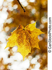 Maple leafes at autumn, closeup, looks natural.