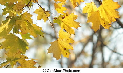 Maple leafs in fall