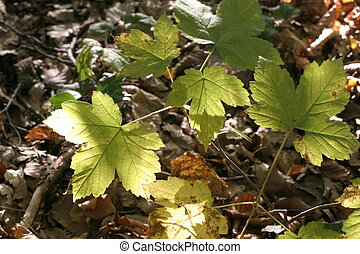 maple leafs on the ground