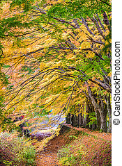 Maple Leave Tunnel in Japan - Kawaguchi, Japan at the maple ...
