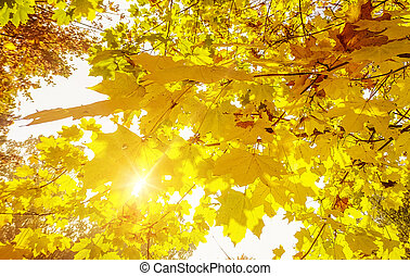 maple leaves against the sun