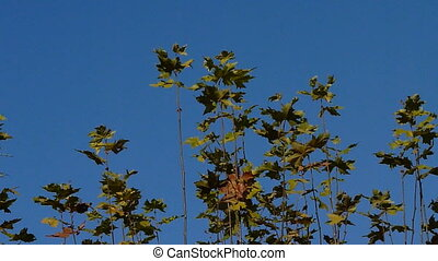 maple leaves - Autumn Leaves Close up