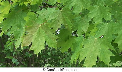 Maple leaves. - Background from leaves of a maple covered...