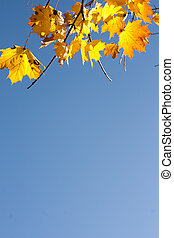 Maple Leaves Changing Colors in Fall