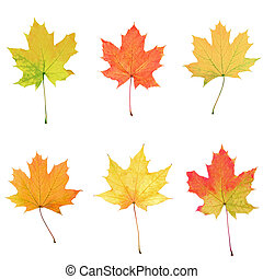 Maple leaves collage