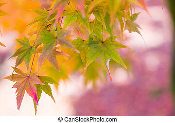 Maple leaves colour changing green