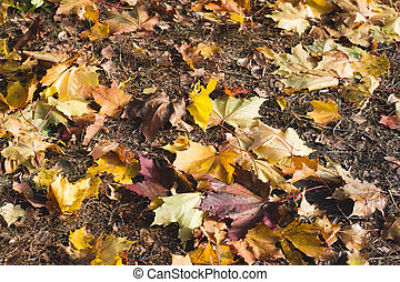 maple leaves fallen on the ground. autumn background of yellow leaves