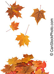 Maple leaves falling isolated on a white background