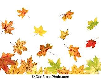 Maple leaves falling
