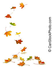 Maple leaves falling - Maple autumn leaves falling to the ...