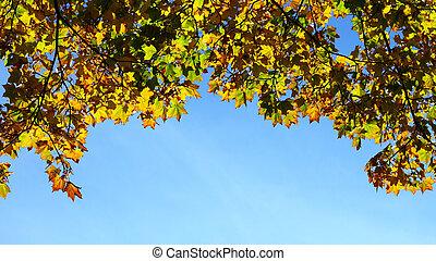 maple leaves, golden autumn