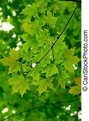 Maple leaves green