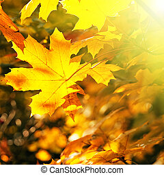 Maple leaves illuminated by the sun