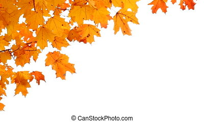 Maple leaves in Autumn isolated.