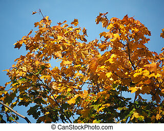 maple leaves in autumn